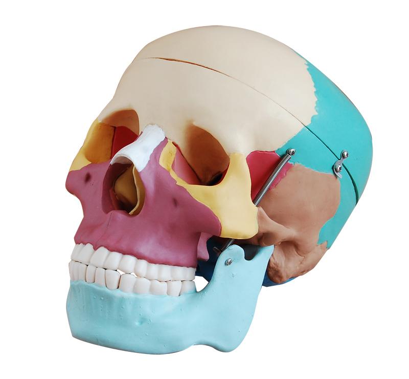 CIENTIFICA SCHONFELD - Esqueletos Huesos y Cuerpo Humano